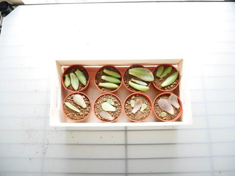多肉植物、缶鉢に寄せ植え