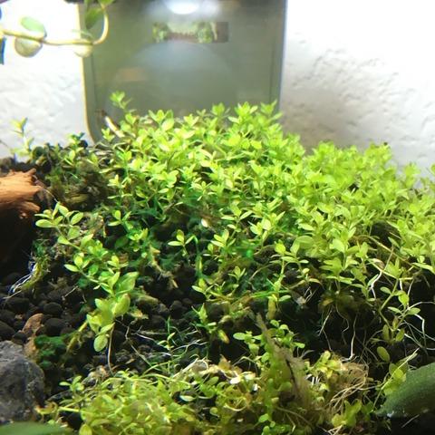 30cmキューブ、立ち上げ直後の藍藻駆除