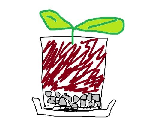 ガジュマル挿し木、鉢上げ