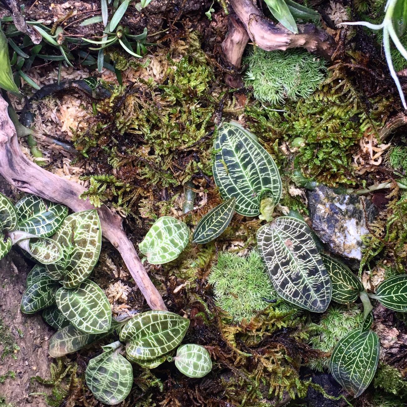 ハイゴケで自然感をあげる。宝石蘭を美しく。