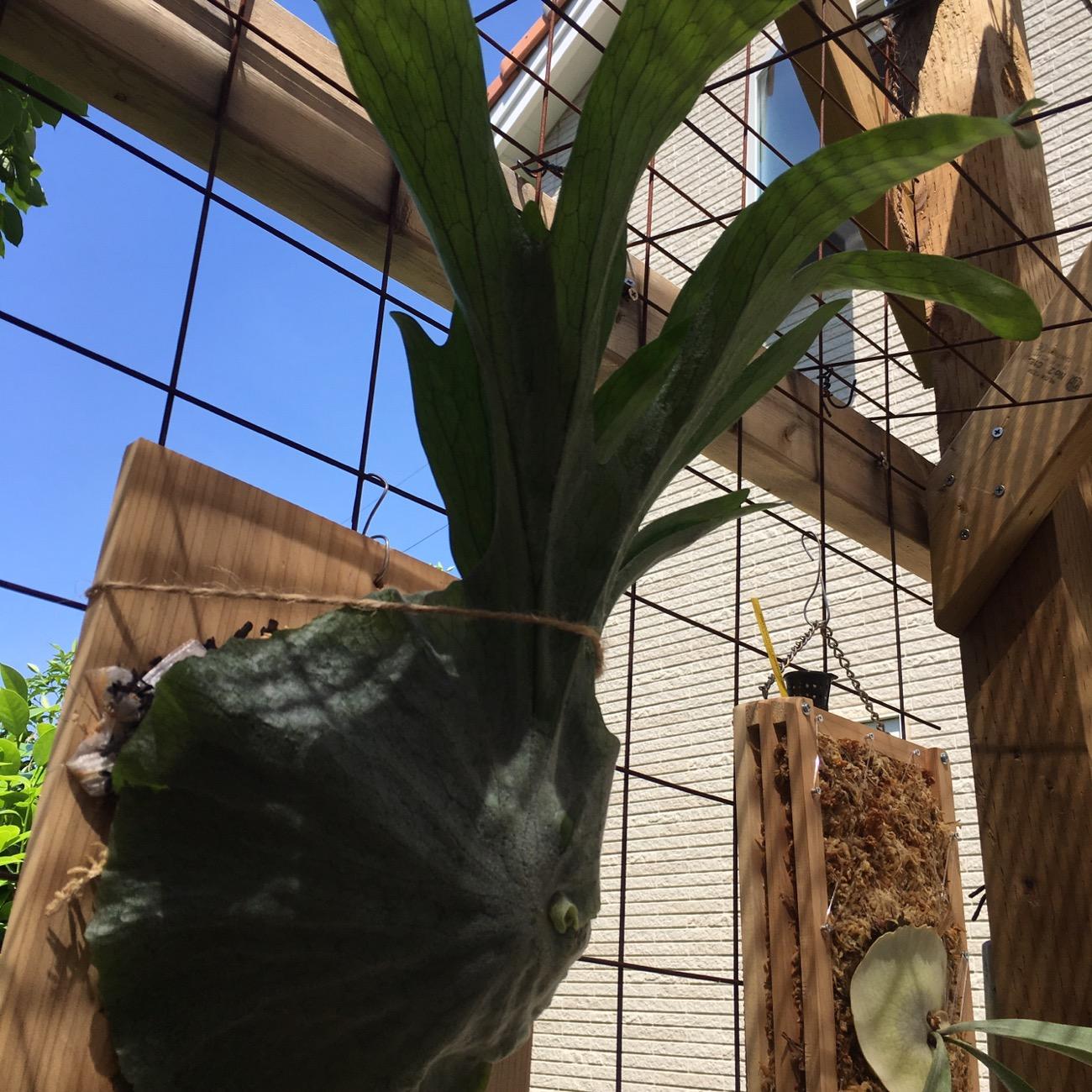 ビカクシダ・グランデの成長記録。約1年目。腐葉土をぶち込んでみる。