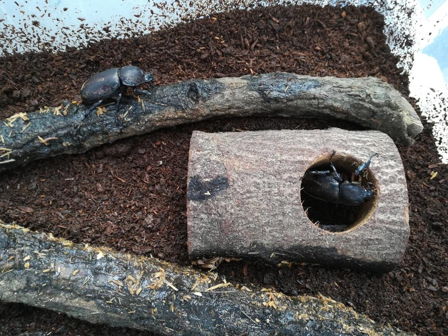 【閲覧注意】カブトムシを飼おう!≪台風により大被害発生中...≫