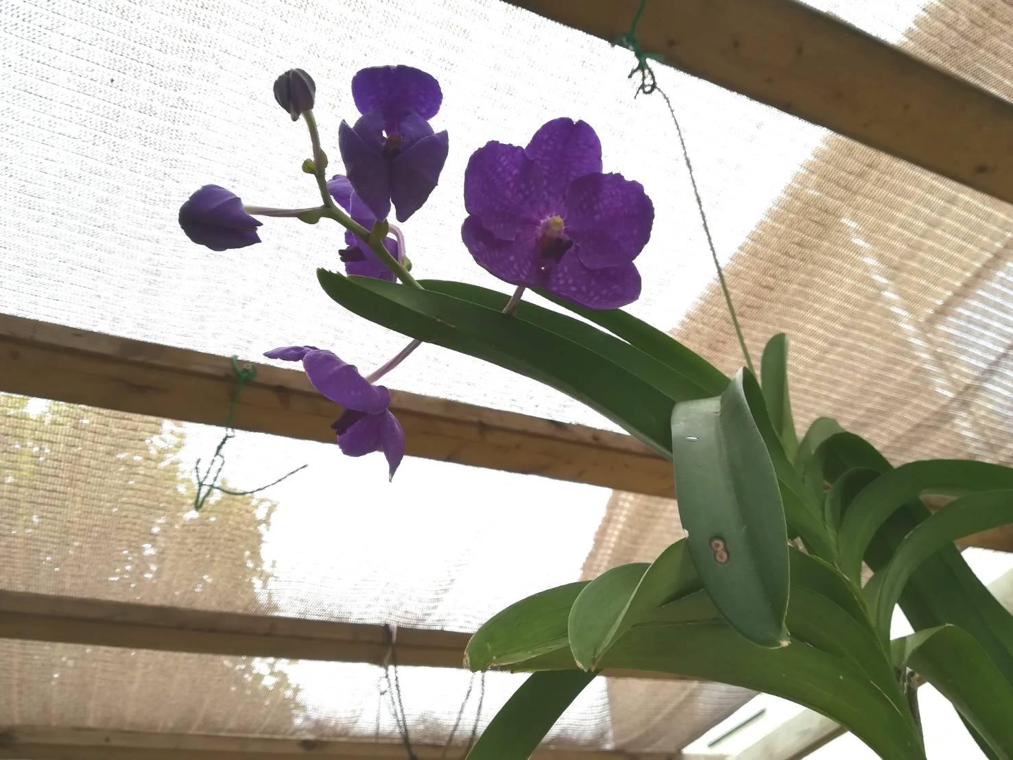 バンダが開花するまでにかかった日数。≪V.Pachara Delight≫
