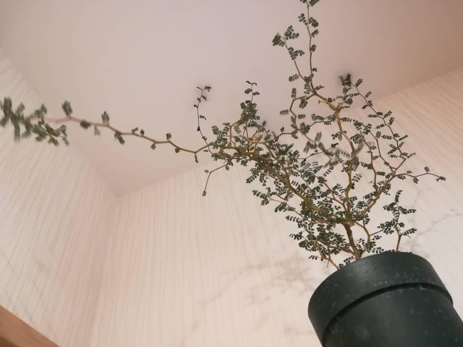 トイレで観葉植物を育てるには。≪ソフォラ・リトルベイビーを育てる≫