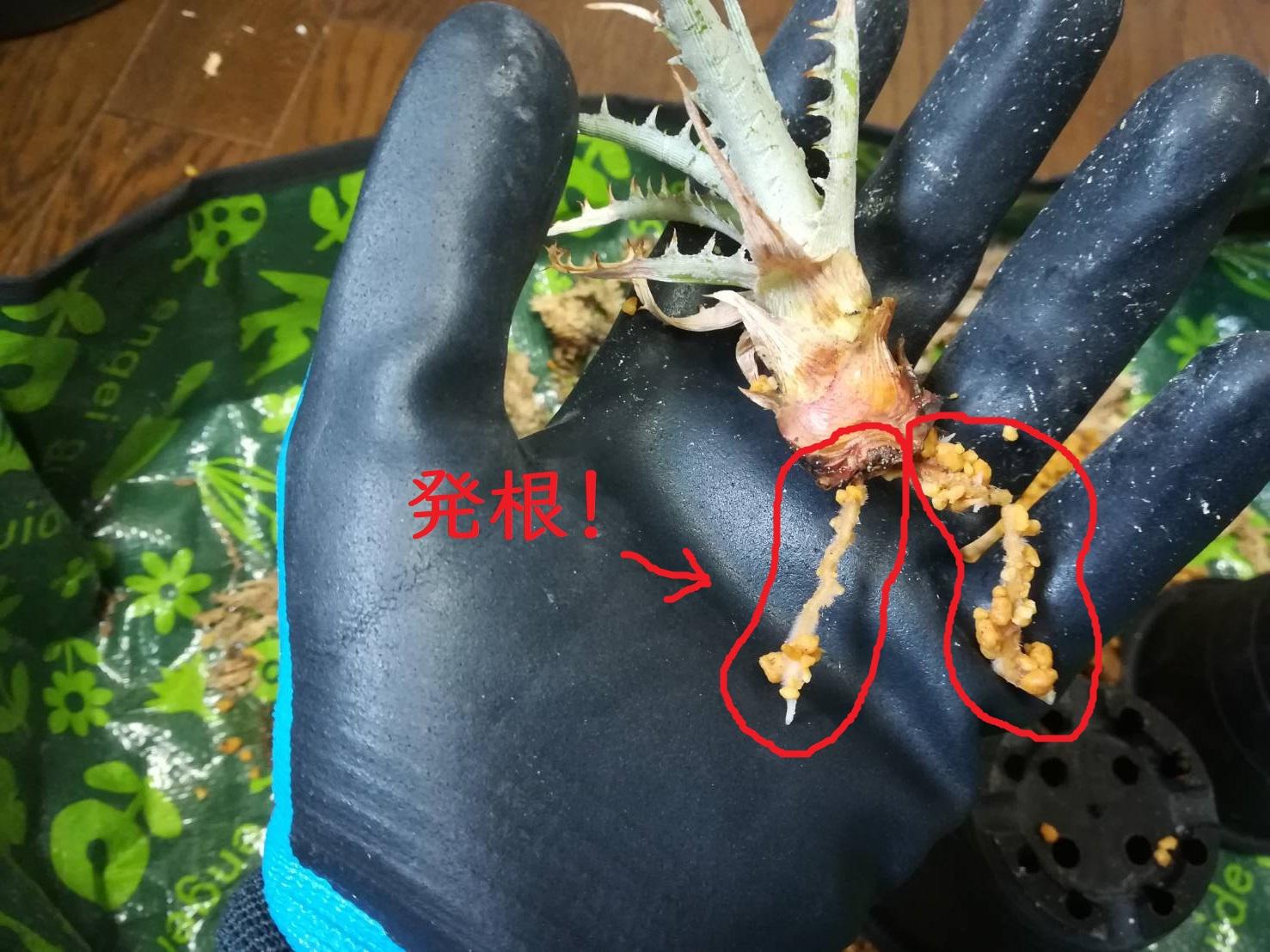 """腰水で発根したディッキアの植え替え。≪Dyckia """"toothy F2″≫"""