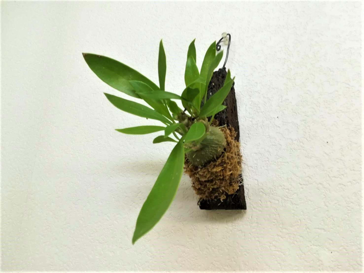 アリ植物「ミルメコディア ベッカリー」を板付に!≪アリ植物の育て方≫