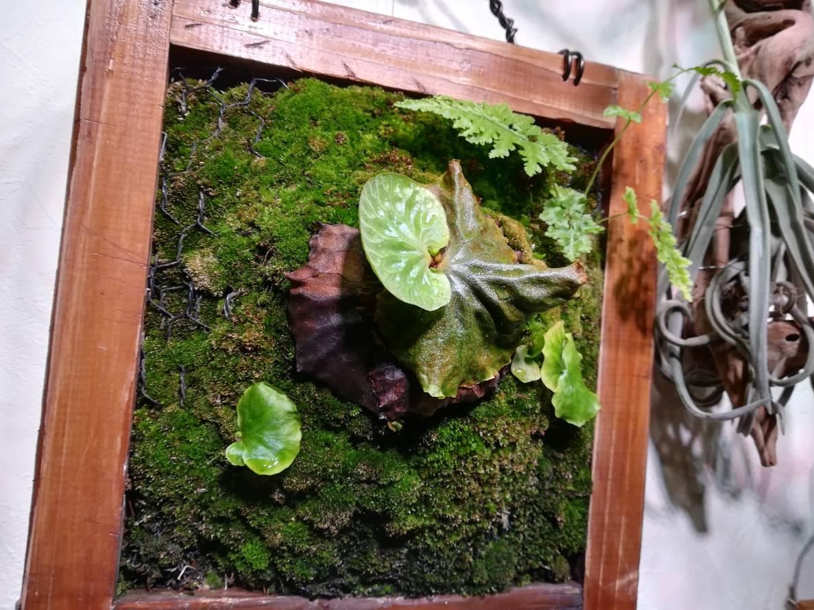 マダガスカリエンセと一緒に仕立てた苔から生えた謎シダ。≪7カ月目の記録≫