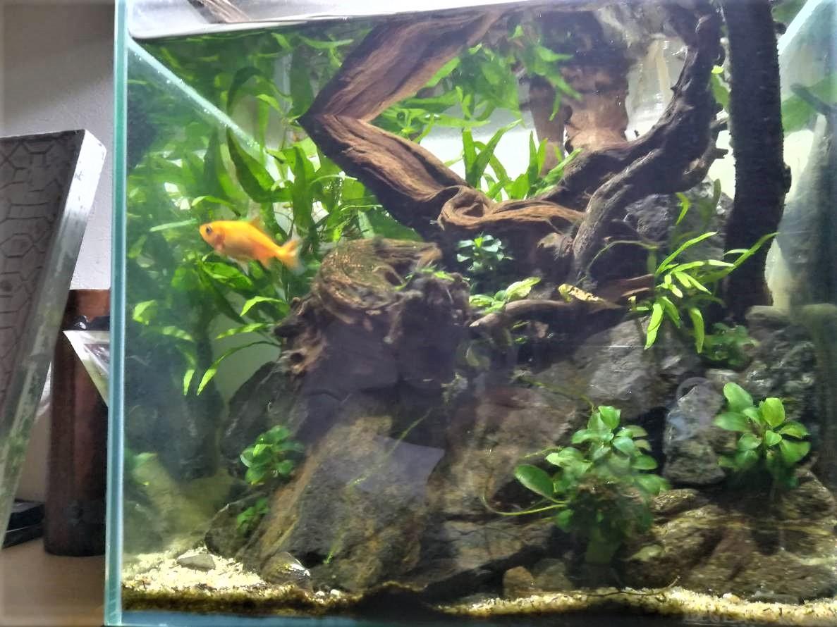 30cmキューブ、アクアテラ。立ち上げから1年。≪金魚の金太郎水槽≫