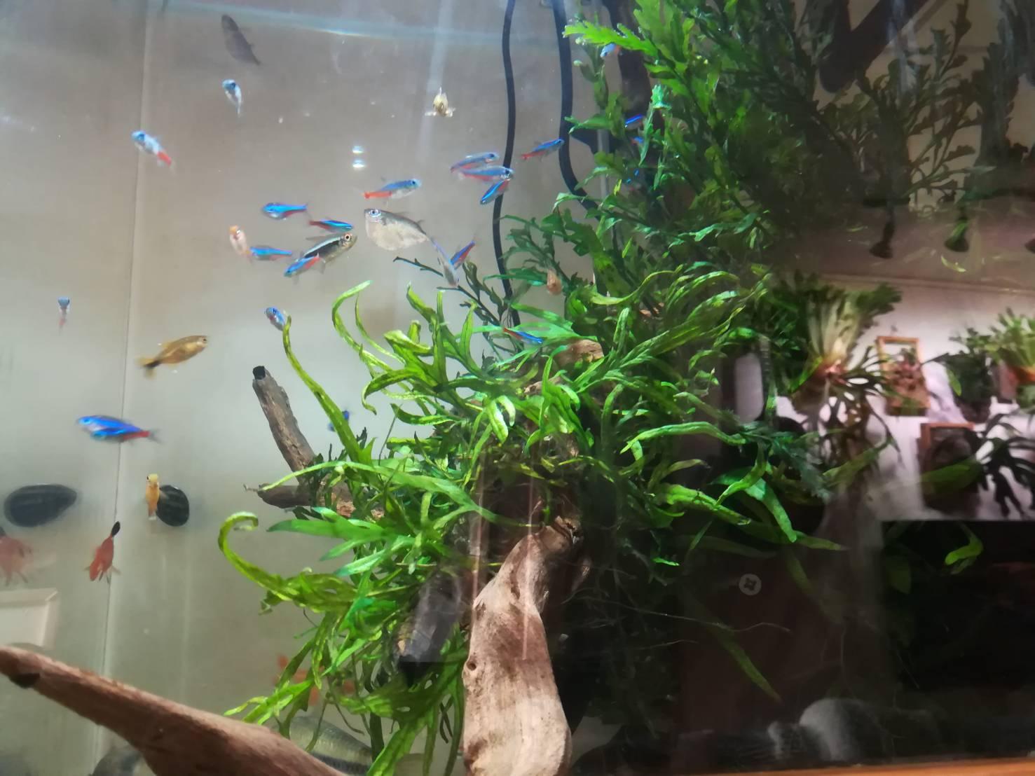 コリドラスとの混泳におすすめ!トラコハチェットが可愛すぎる≪エビを食べない大型な熱帯魚≫