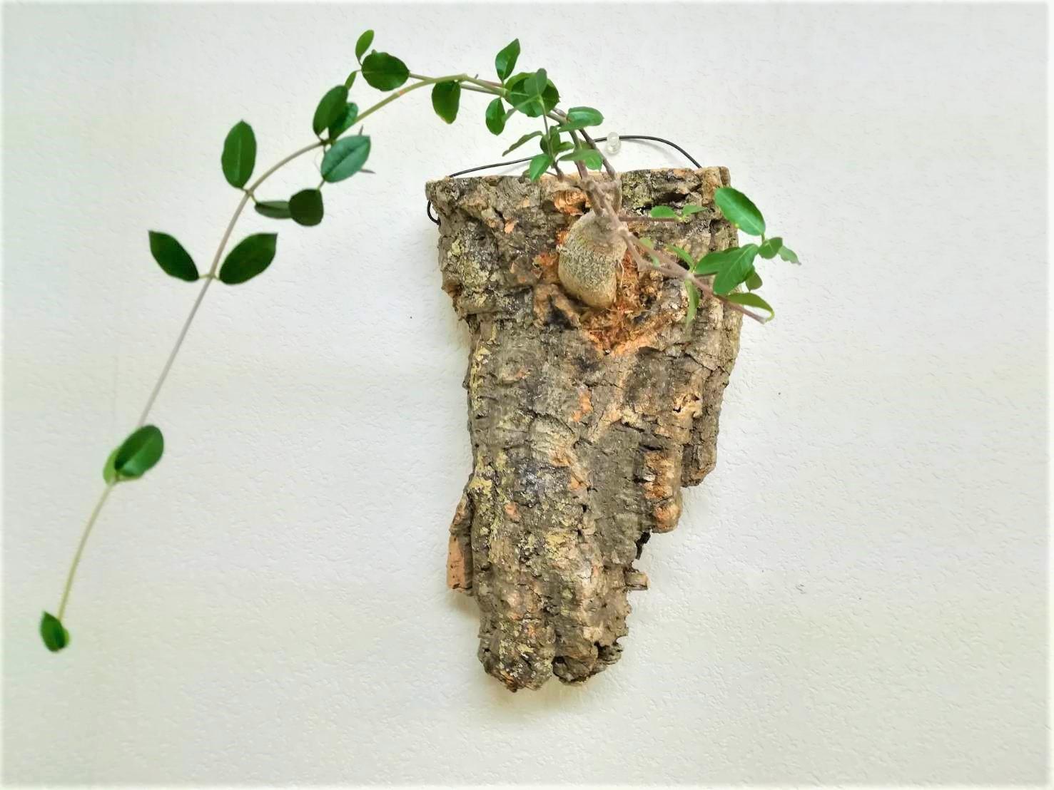 塊根(多肉)植物をコルク仕立てにする方法!≪ありえない火星人の着生≫