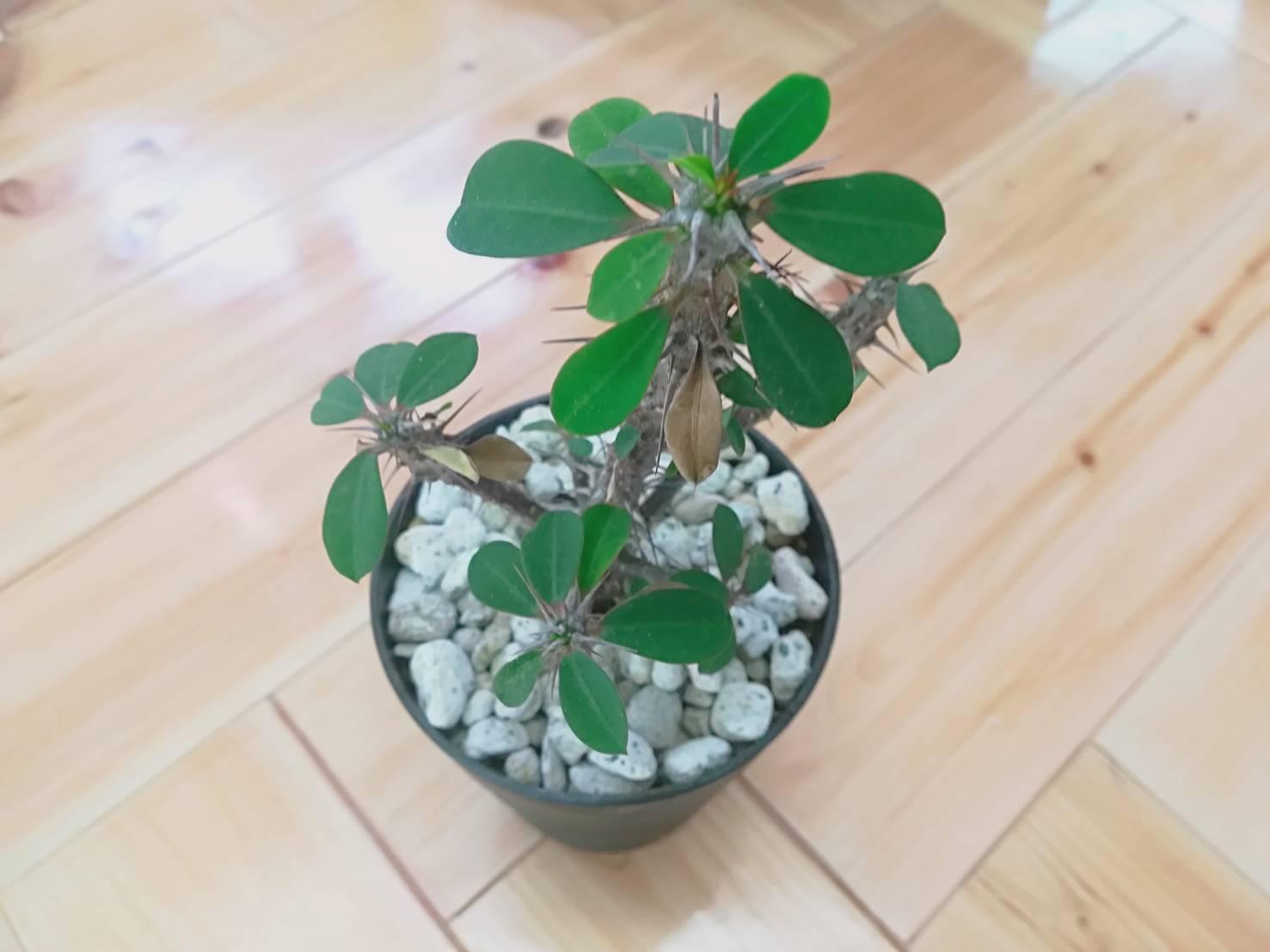 ハナキリンの植え替え。≪Euphorbia milii≫