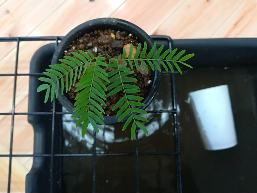 実生エバーフレッシュの植え替え。≪種まきから約5カ月≫