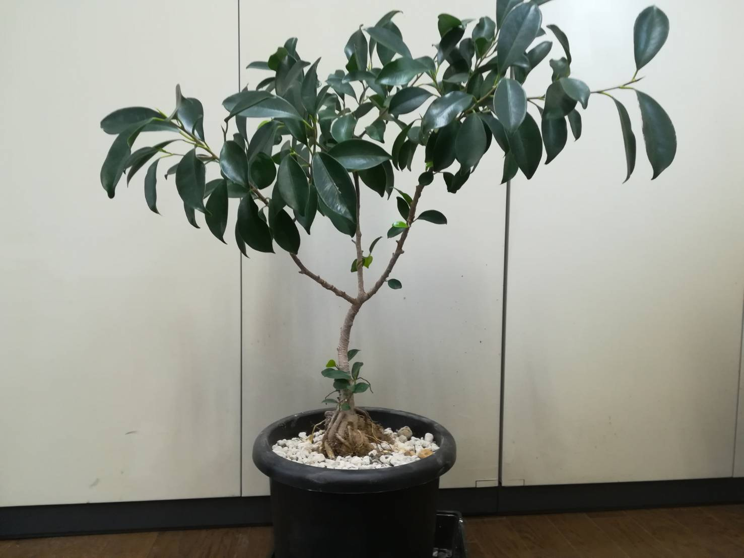 ガジュマル挿し木、4年経過。≪挿し木でも太くなる!≫