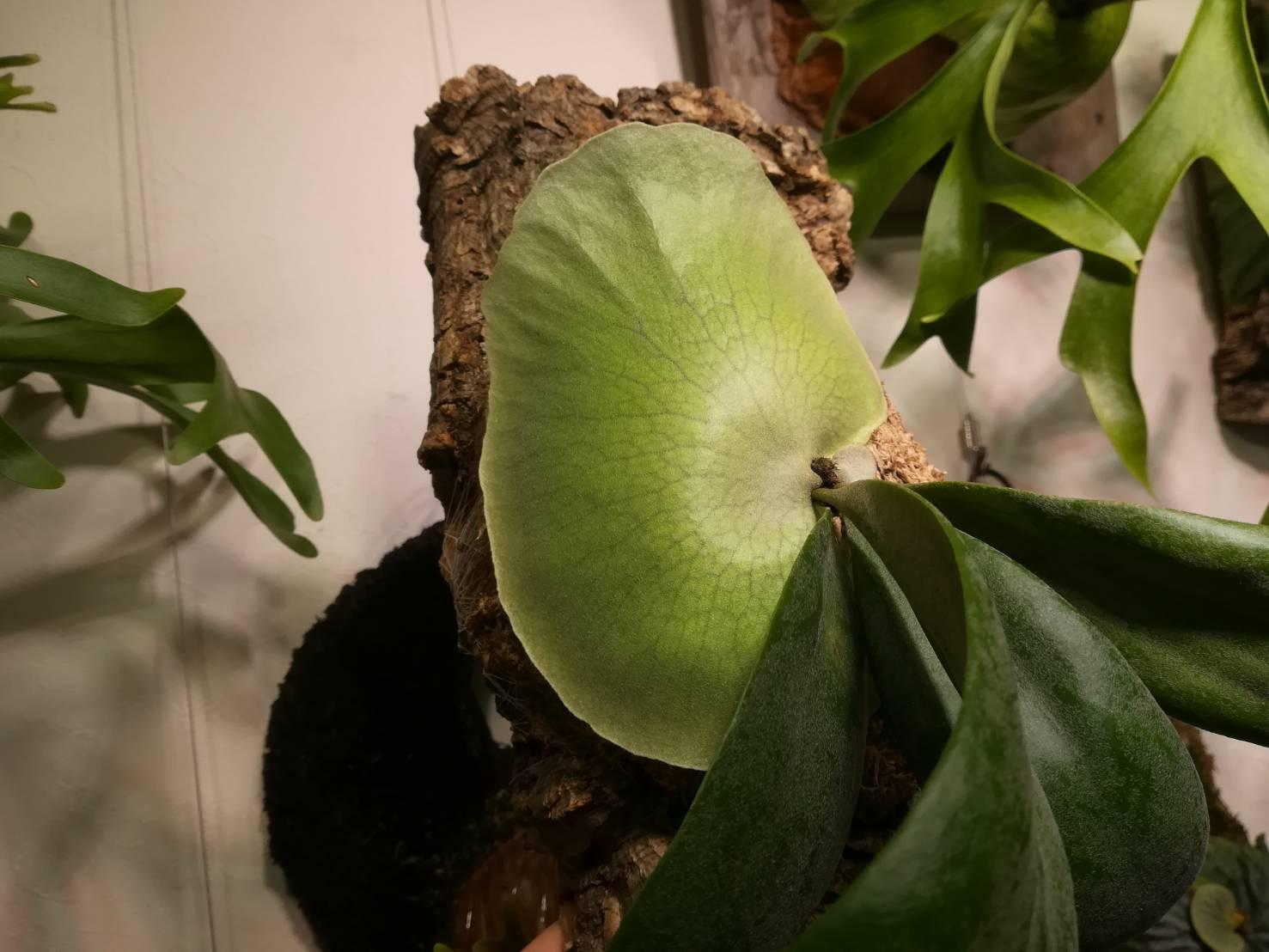 ビカクシダ・ウィリンキーcv.Dparisの貯水葉が綺麗。≪ P.willinckii ≫