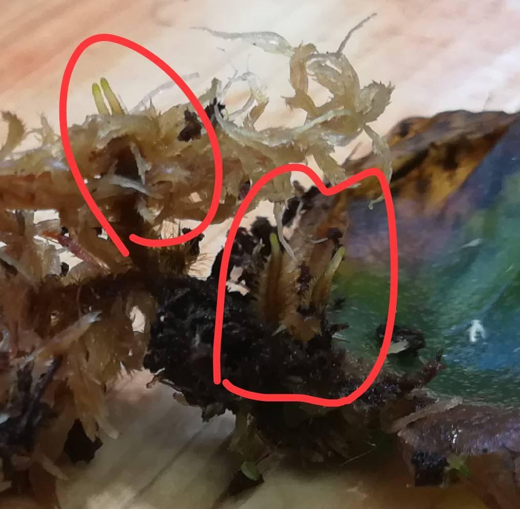 葉は1枚だけど根がない!ほぼ生長点だけのビカクシダを救え!≪高湿度管理or水挿し≫