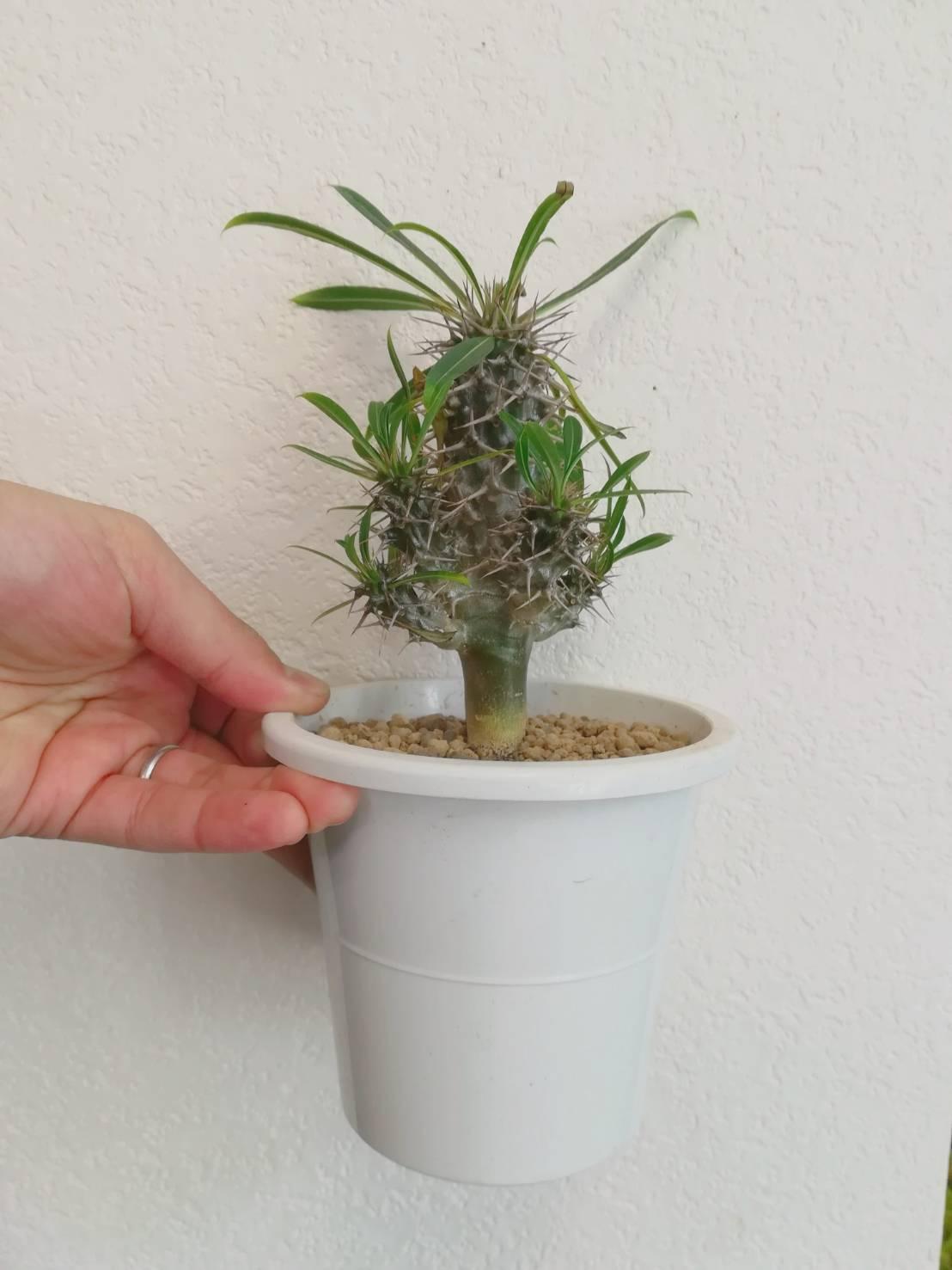 ホームセンターで買ったパキポディウム・ラメリーの植え替え。≪Pachypodium lamerei≫