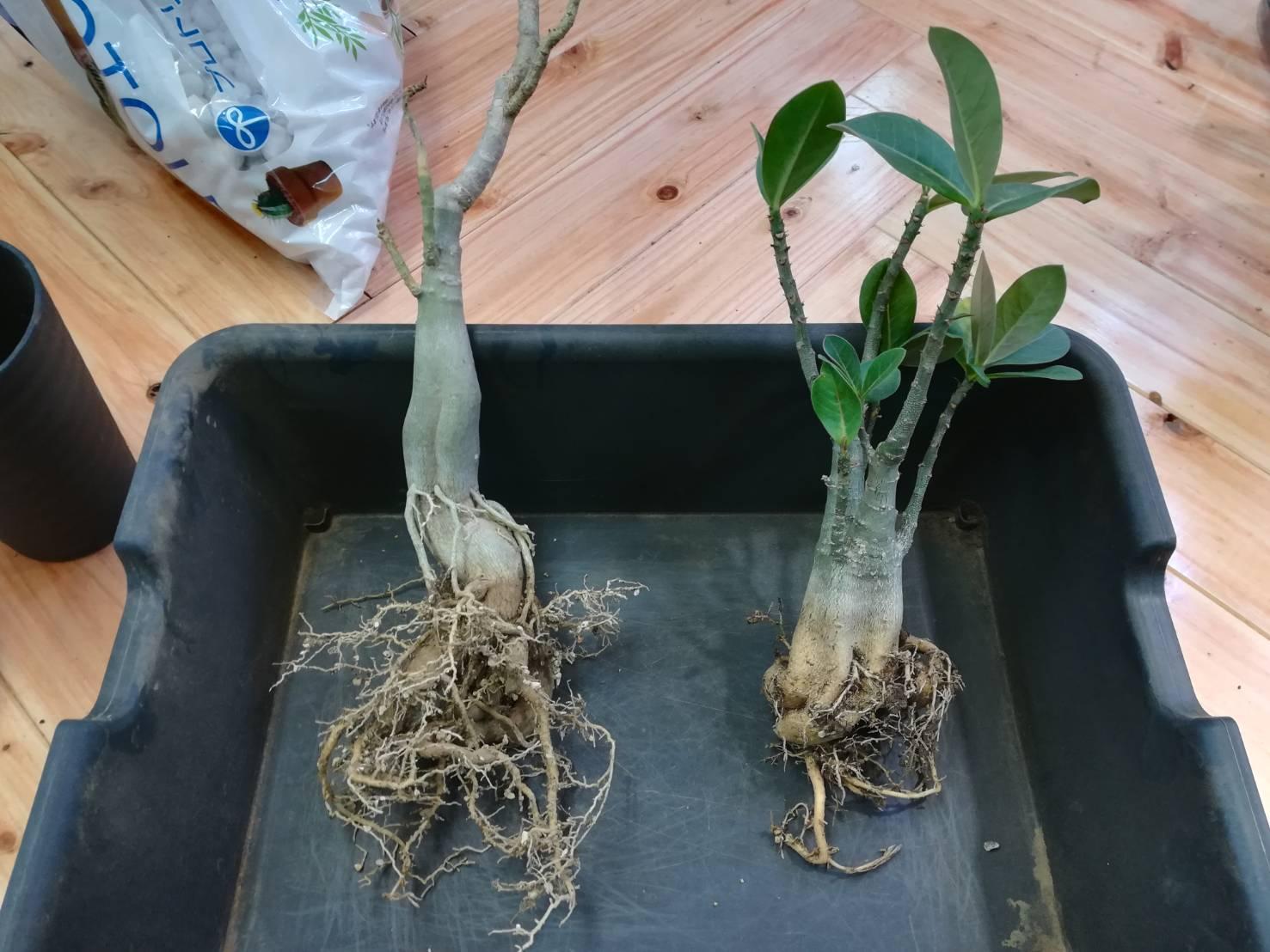アデニウム・オベスム?アラビカム?の冬越しと春の植え替え。≪Adenium×塊根植物≫