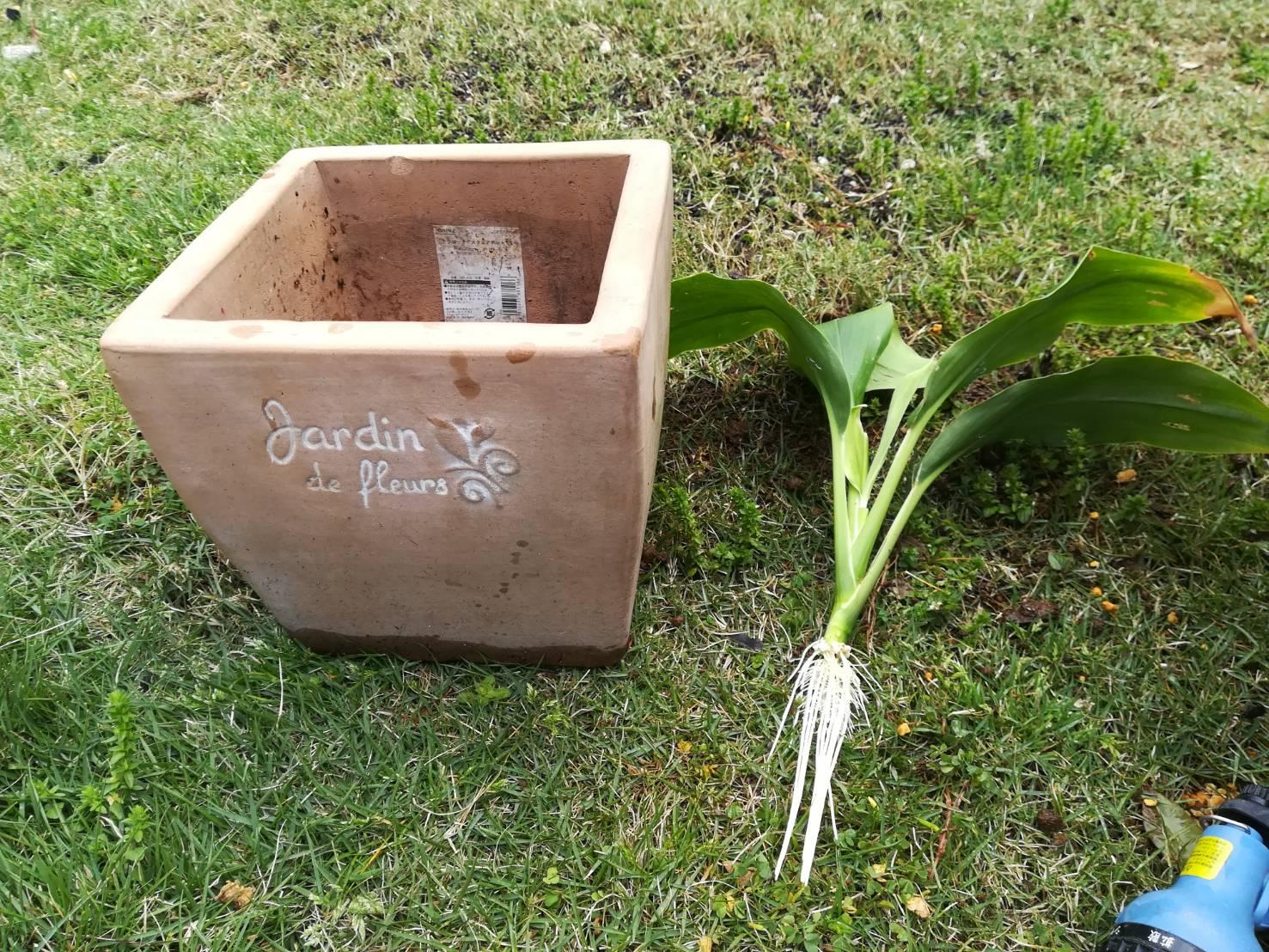 ハラン...ではなく青ドラセナを水挿しから鉢植えに!≪間違い×ありがとうございます!≫