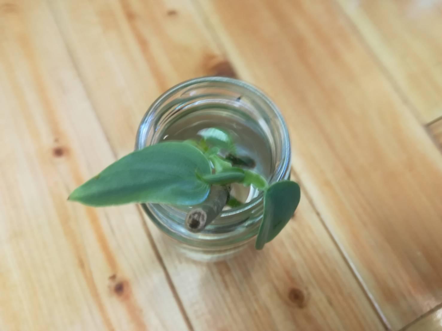 フィロデンドロン・シルバーメタルの挿し木。≪水挿し発根×増やし方≫