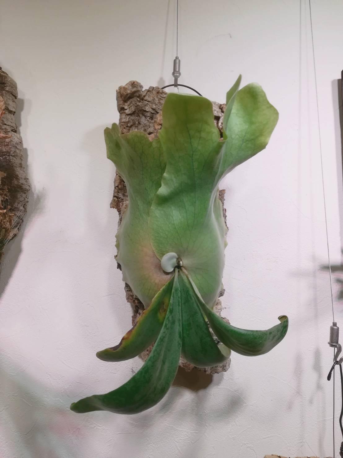 ビカクシダ・ウィリンキーcv.Dparisは貯水葉に個性があるのか。≪コルク付けから5カ月経過。≫