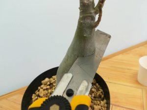 アデニウムの胴切りと挿し木をやってみる!≪塊根植物×切り口殺菌×胴切り方法≫