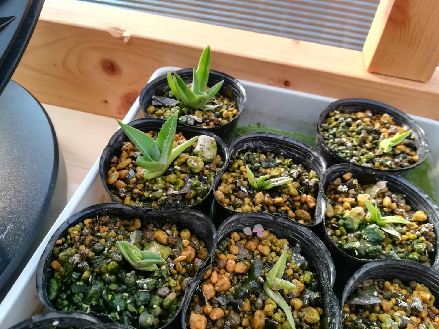 秋播種の実生アガベ約9カ月後。≪まだ腰水×生長期本番×成長速度≫