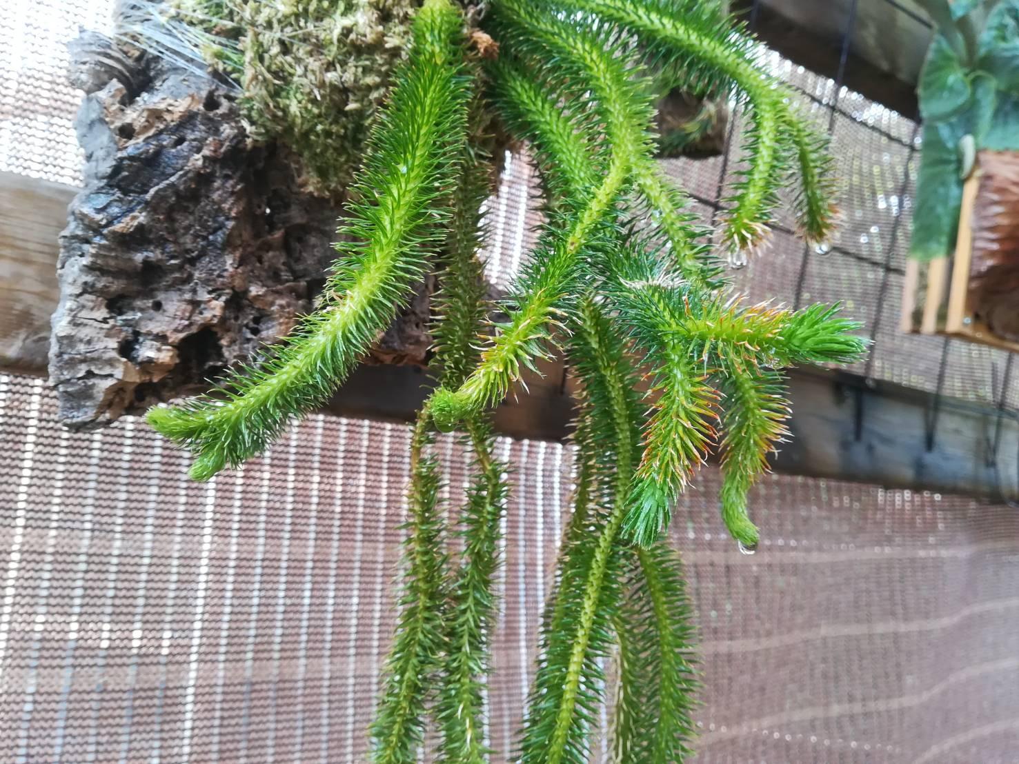 フペルジアのコルク仕立てから5カ月後。≪着生植物×シダ植物×成長速度≫