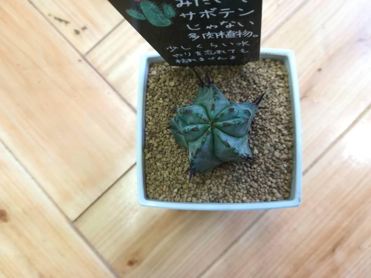 ユーフォルビア・ホリダの植え替え。≪サボテンみたいでサボテンじゃない多肉植物。×植え替え後の水遣り×≫