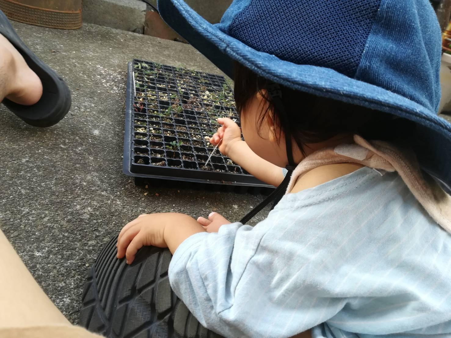 実生ミモザの発芽率検証結果。≪播種2ヶ月で植え替え×銀葉アカシア×成長記録≫