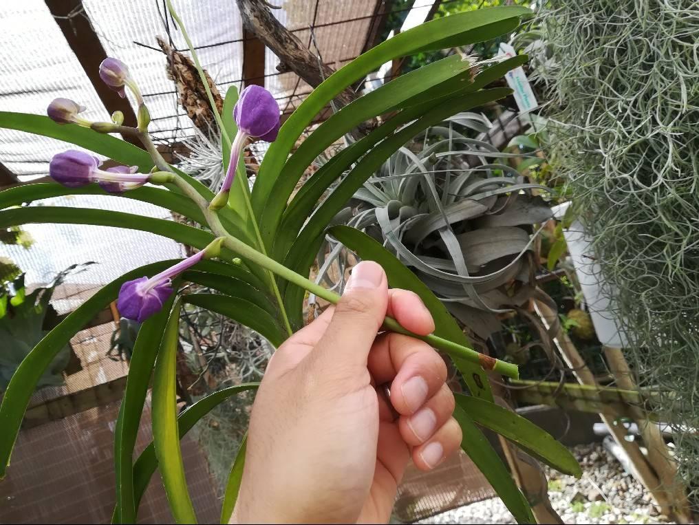 バンダの花茎を開花前に切り落としました。≪バンダの育て方≫