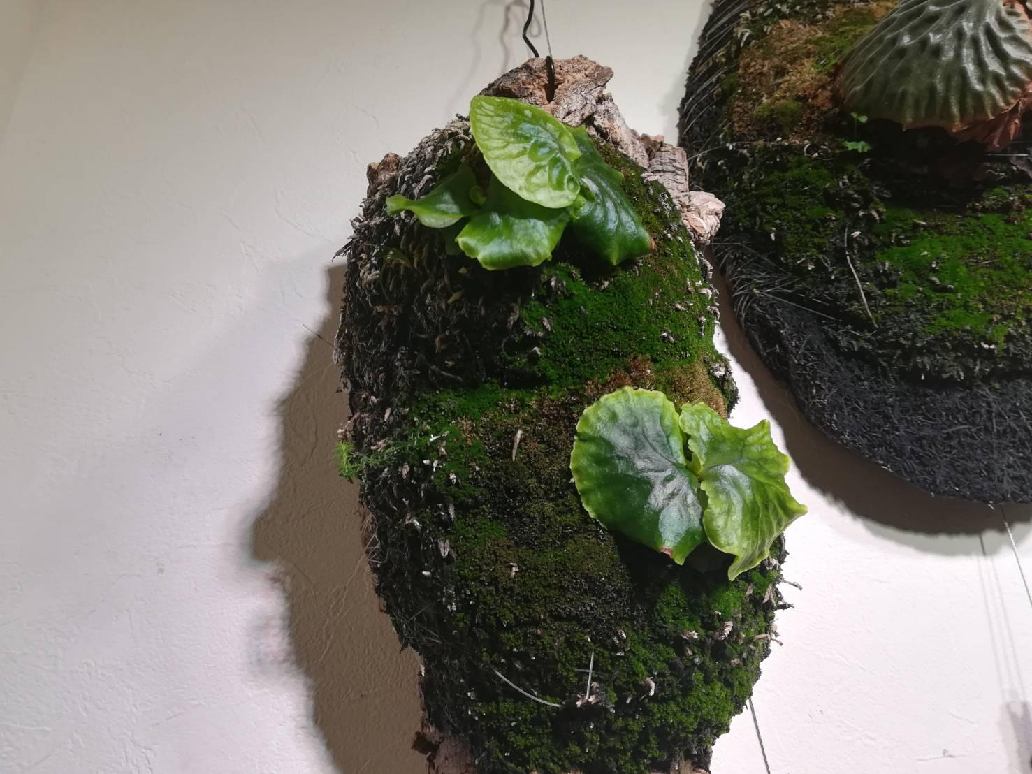 マダガスカリエンセと一緒に苔を愛でる良さ...≪メリクロン株購入から1年半後の記録≫
