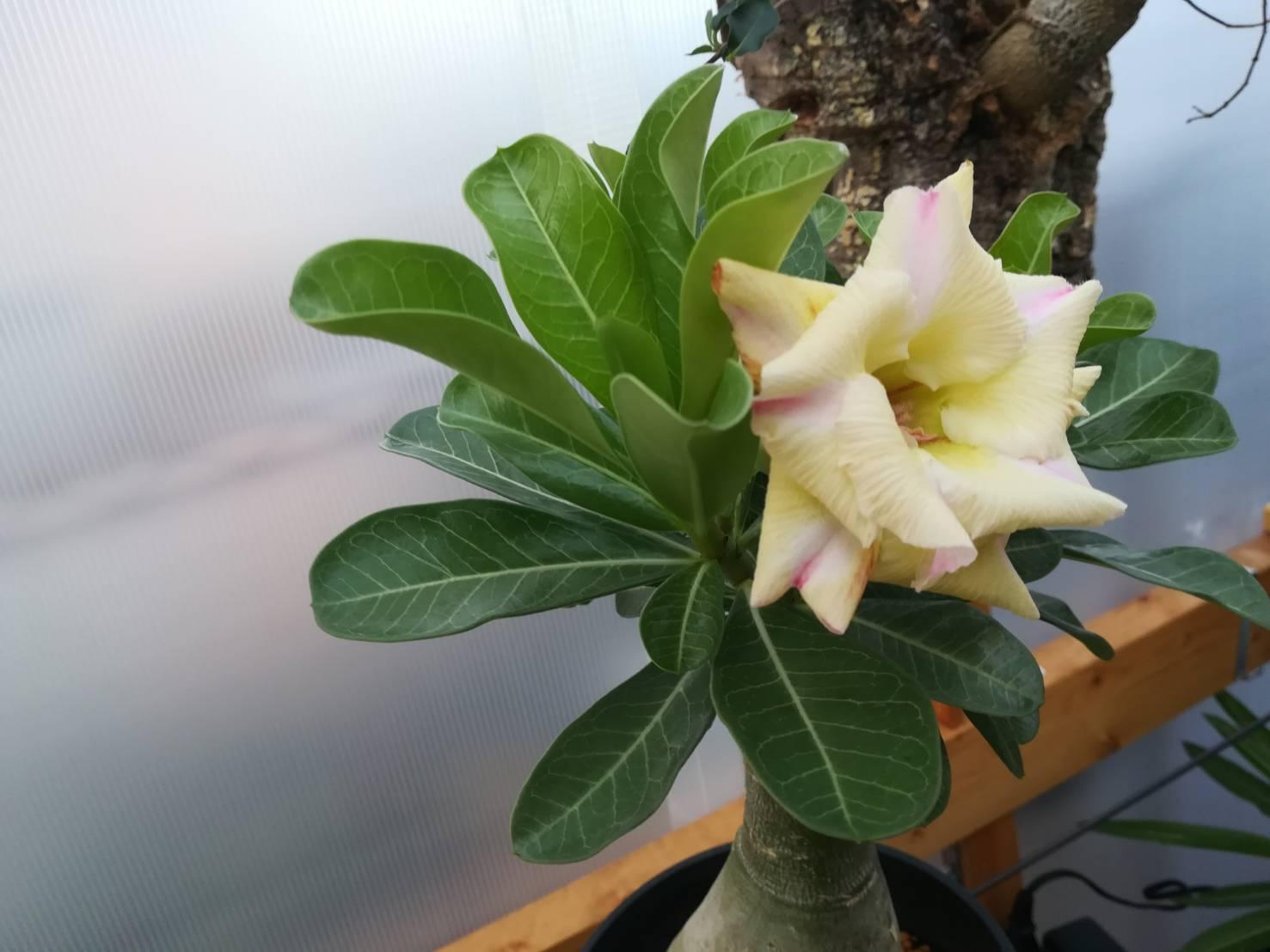 アデニウムが開花した!≪塊根植物×白花×アデニウムの夏≫