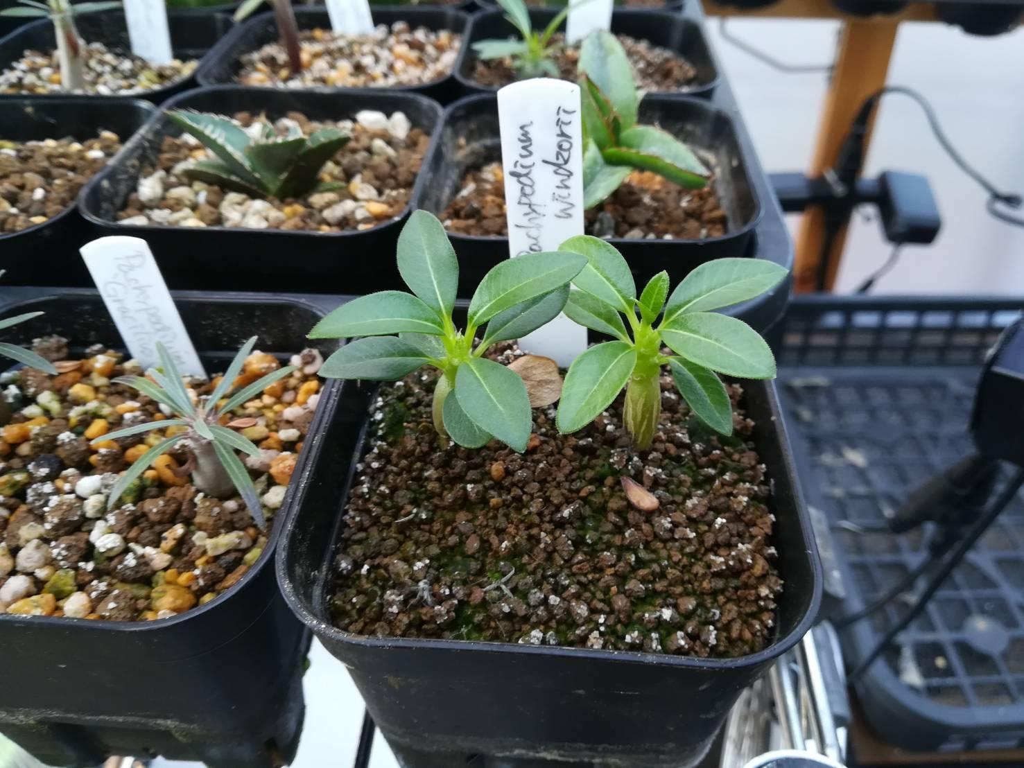 パキポディウム実生苗の腰水をやめてみた。≪播種から4カ月後×腰水卒業×冬の管理を考える≫