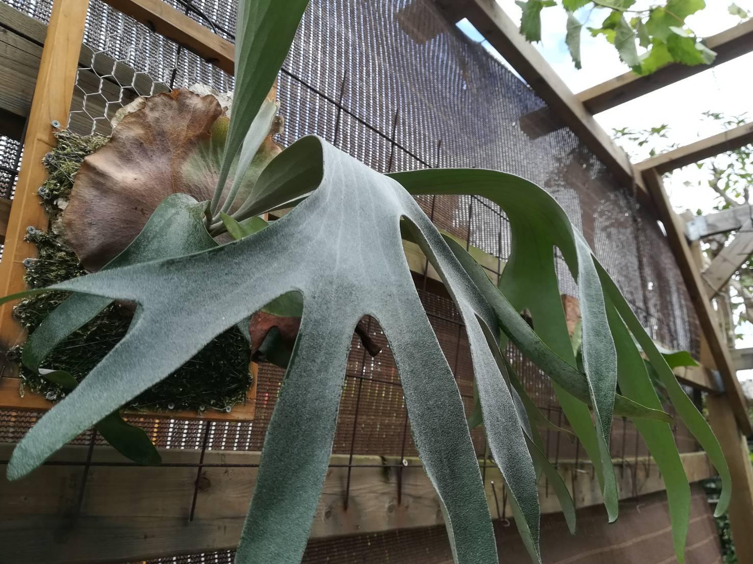 P.Pegasusの胞子葉が白くて美しい。≪ビカクシダ×7か月目×子株大発生中≫