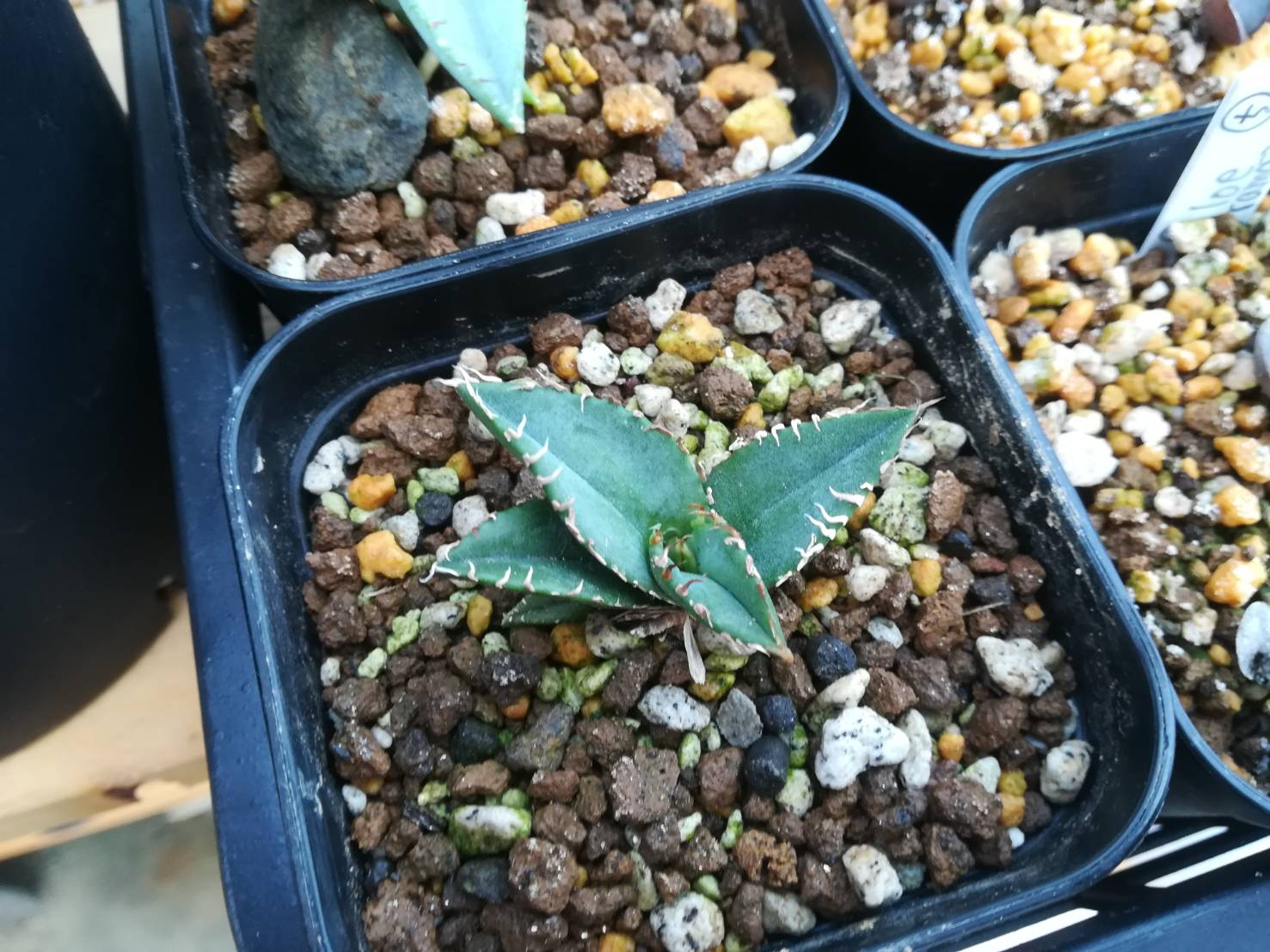 実生アガベのホリダ1年目。≪horrida ssp.horrida×実生の植え替えは禁物?≫