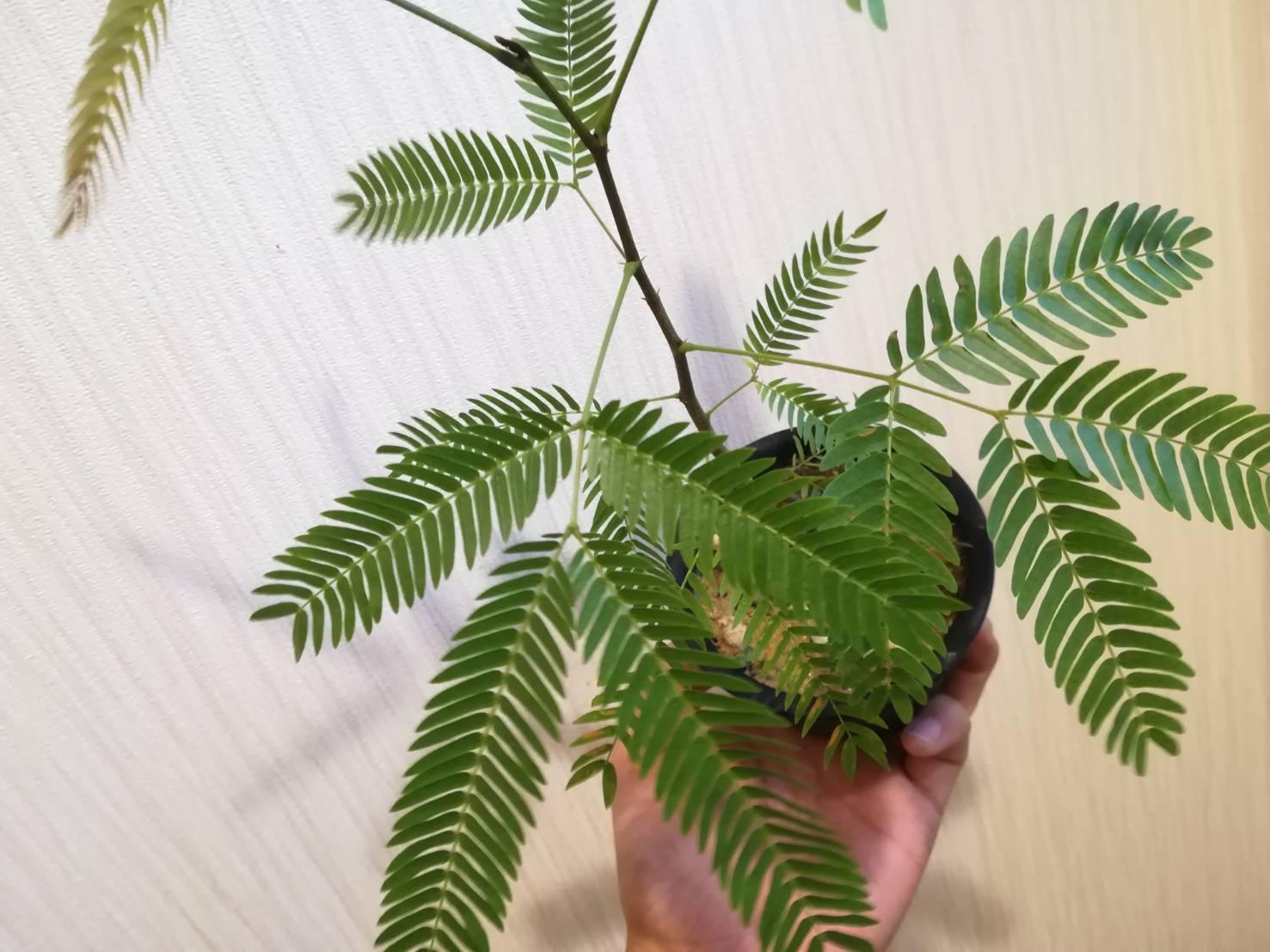 エバーフレッシュ実生開始から1年後。≪種から育てる観葉植物≫