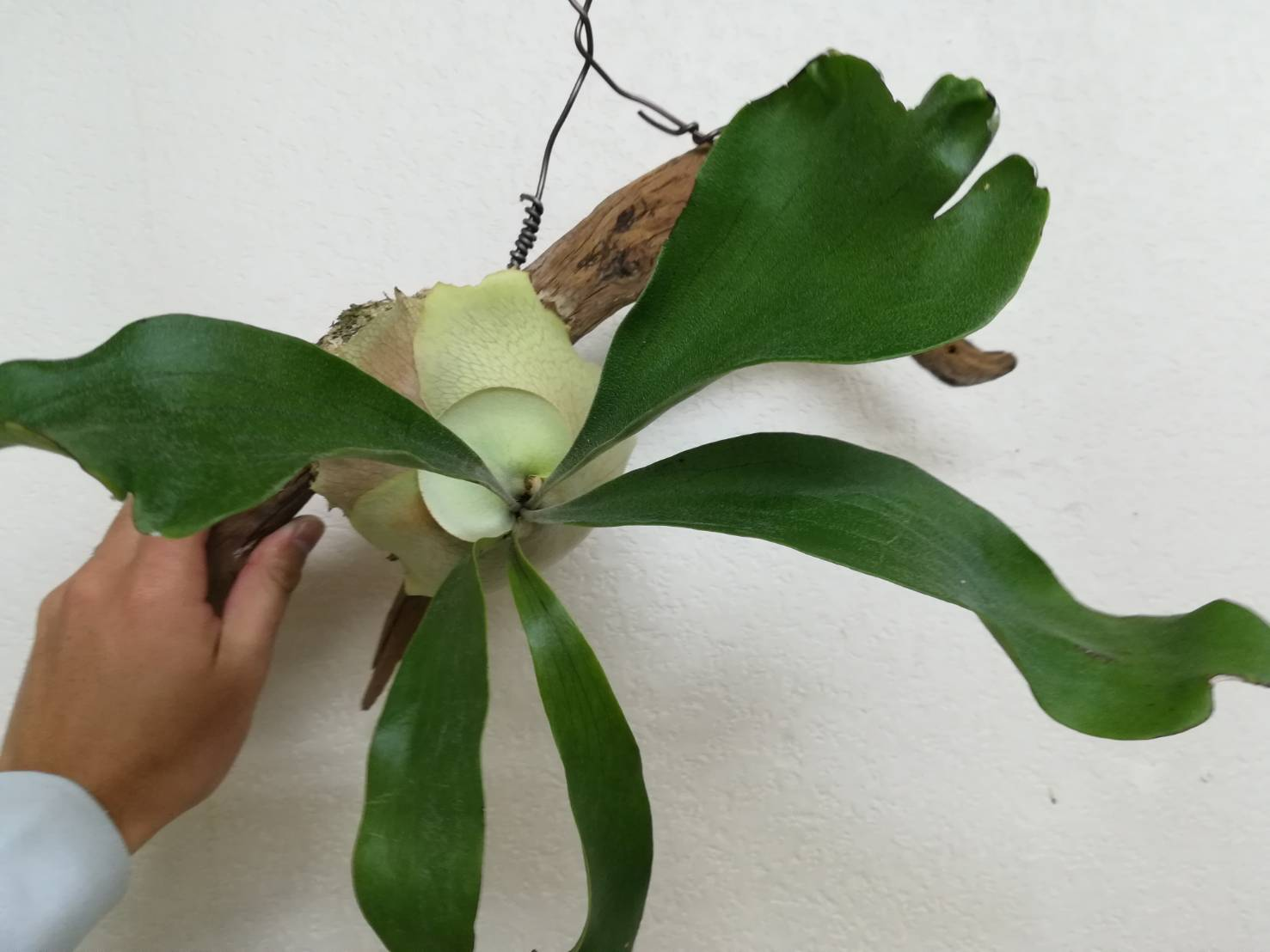 苔玉コウモリランを流木に付ける方法。