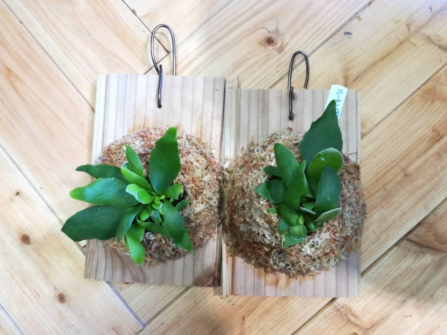 カインズホームのミニ観葉植物「プラティセリウム」を育ててみる。
