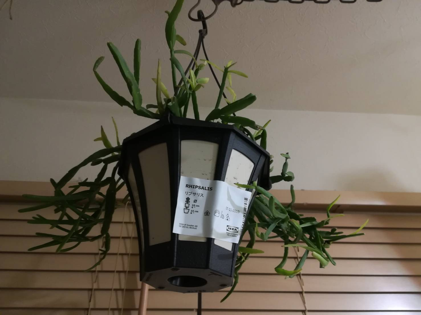IKEA植物「リプサリス」のハンギングプランターが可愛い。