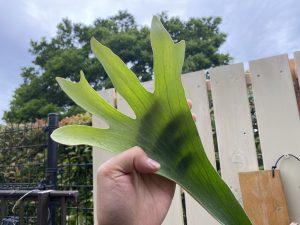 胞子葉から見る「肥料の必要性」をちょこっと考えてみる。