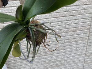 流木付け胡蝶蘭の「根っこ」が大変なことに!