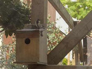 庭の巣箱にシジュウカラがやってきたぞ!!