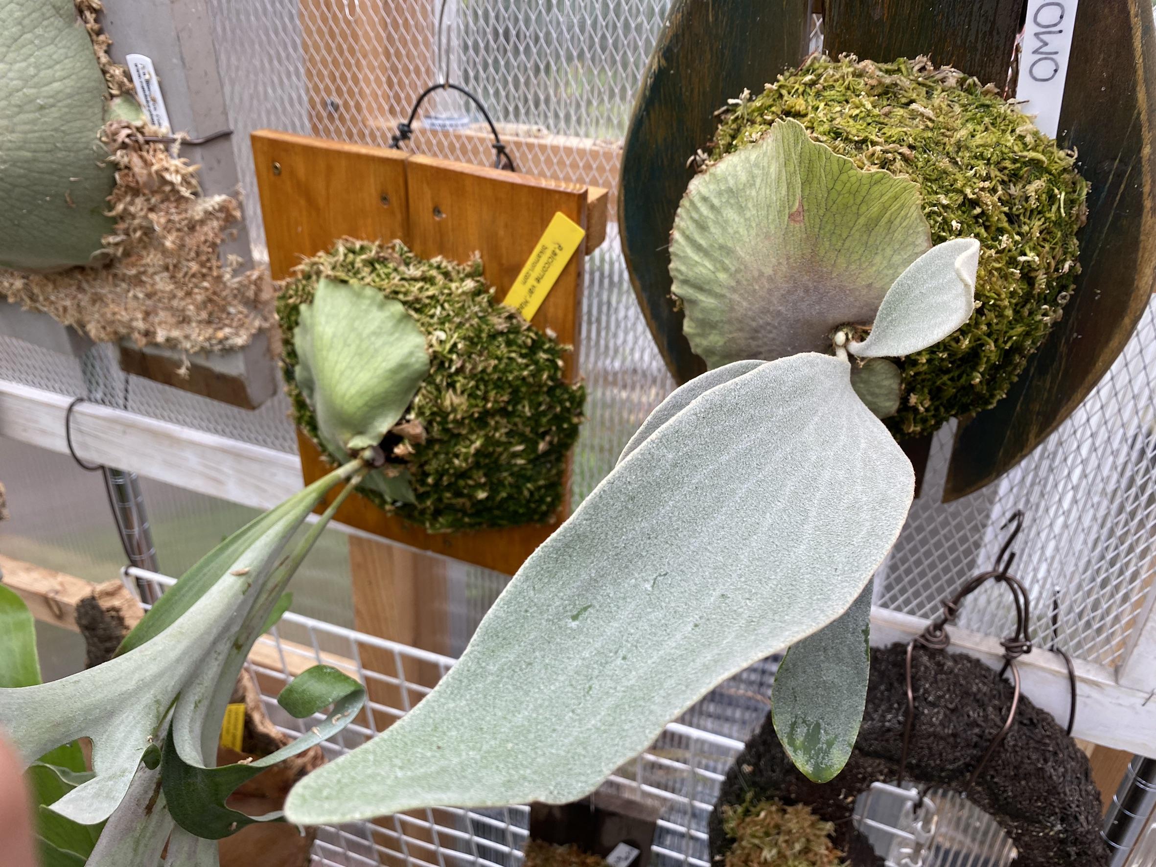 P.OMOの成長記録。胞子葉から目が離せない。