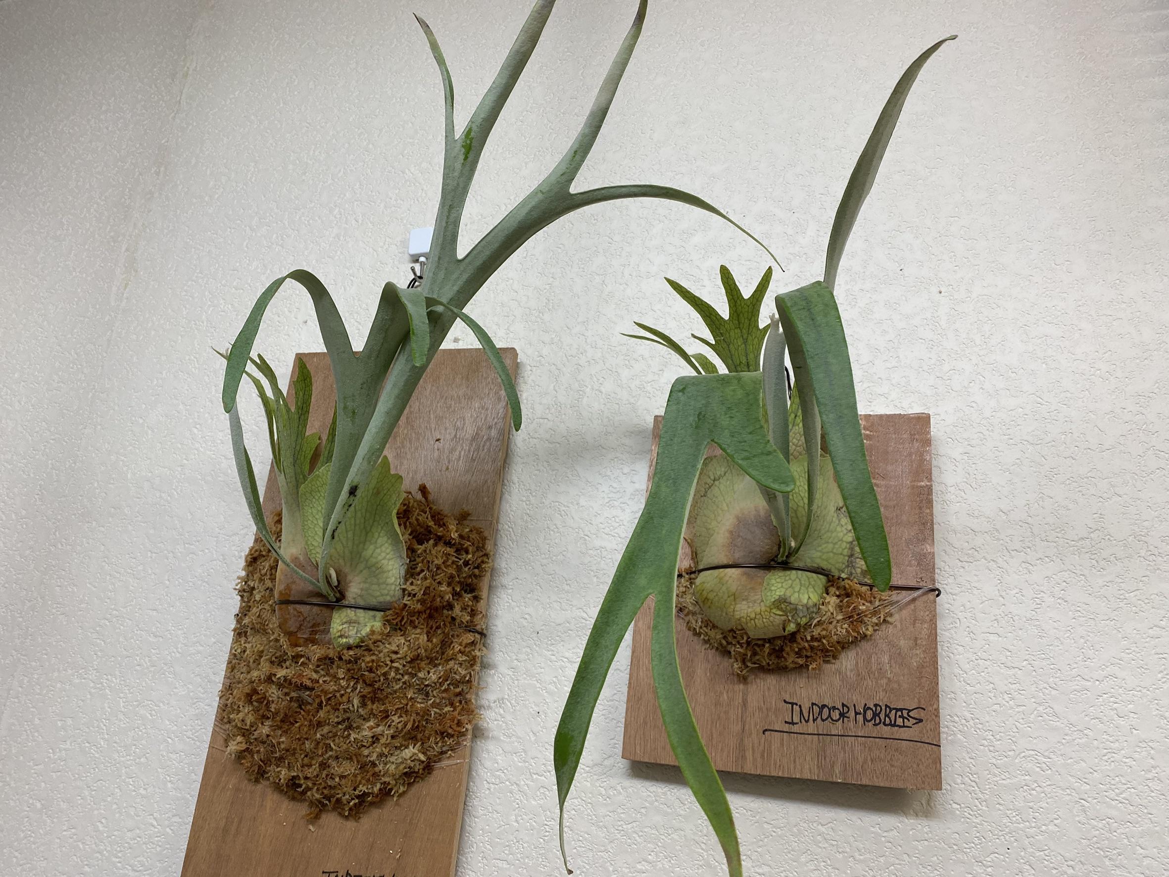 ビカクシダは水苔の量で成長に差が出るのか?