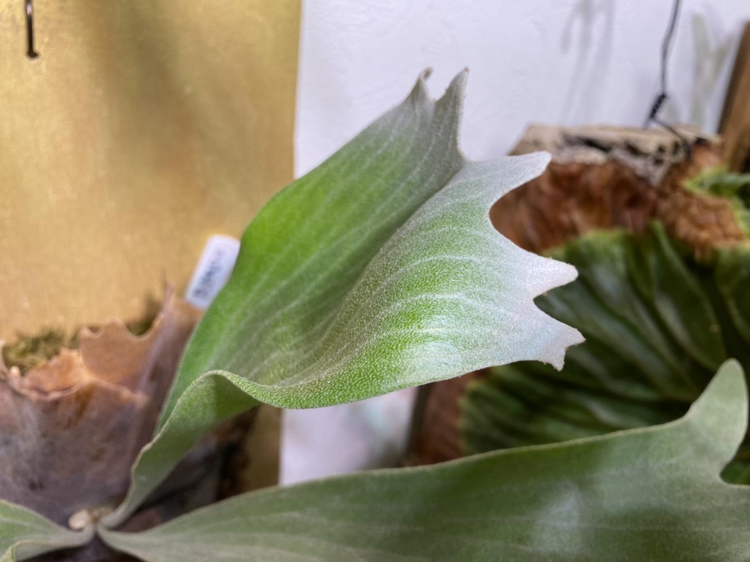 うねる?ビカクシダ「P.Majus」の成長記録。