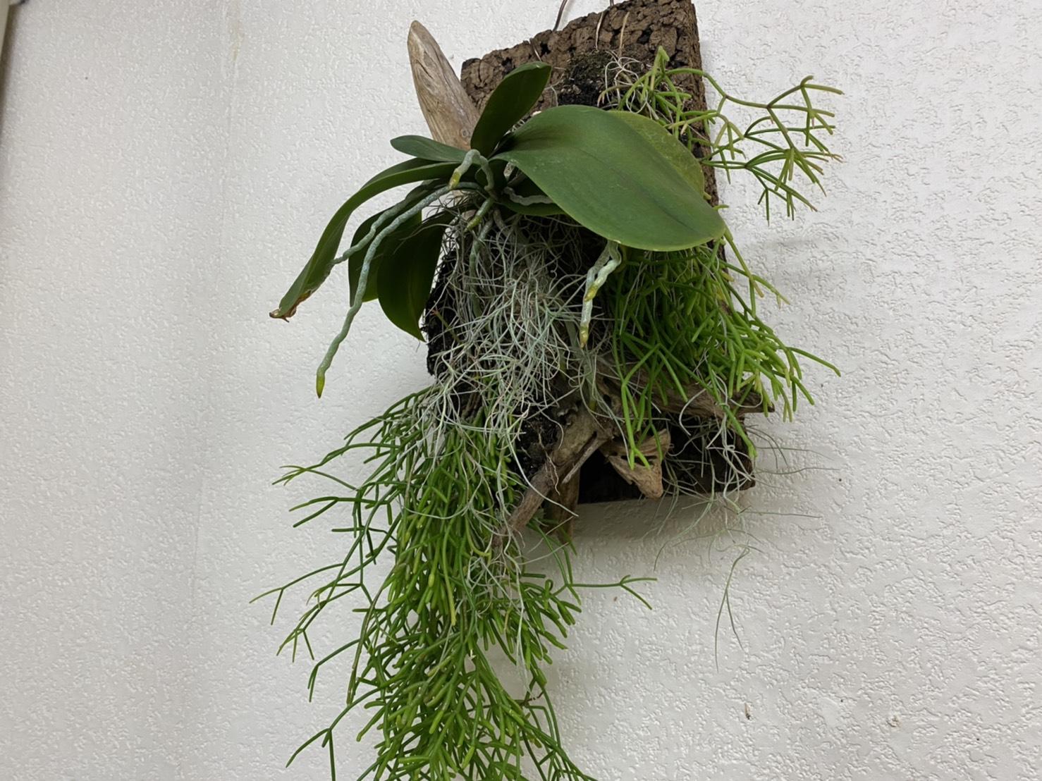 ミディ胡蝶蘭の寄せ植え板付から5か月後。