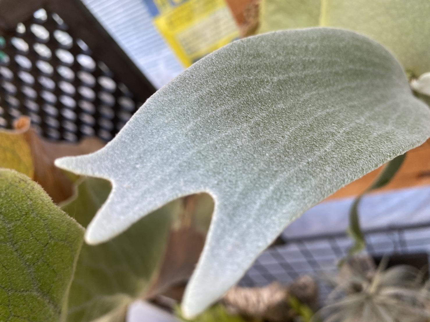 P.E-1の胞子葉が白く美しい。