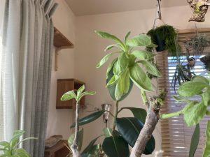 「モンパの木」を育てることになり申した。