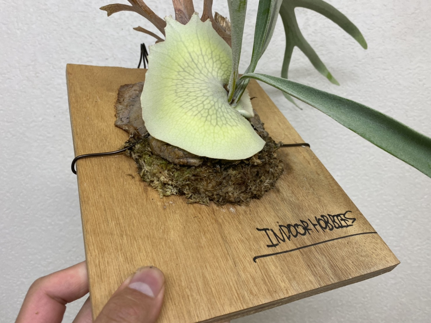 【ビカクシダ】水苔の極少仕立てのメンテナンス。