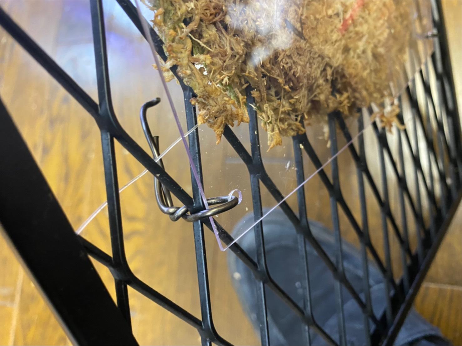 水苔が乾きすぎるビカクシダの調整。